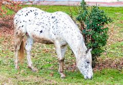 Appaloosa horse is eating grass. - stock photo