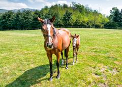English Thoroughbred foal horse with mare on the field - stock photo