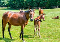 English Thoroughbred foal horse with mare on the field Stock Photos