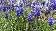 Flowering Muscari hyacinth in the gorge of the White river. Caucasus, Russia. Stock Footage