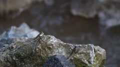 Mudskipper or Amphibious fish - stock footage