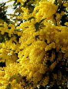 Flowering Yellow Mimosa Stock Photos