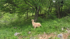 Goat standing eating from leaves tree green forest summer day Asturias Spain  Stock Footage