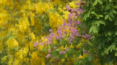 Queen's crape myrtle flowers shaking with wind Stock Footage