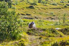 Sheep in Norway Stock Photos