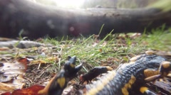 Salamander is Crawling on the Withered Leaves in the Forest Stock Footage