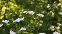Daisies in summer breeze with shallow depth of field. Stock Footage