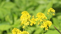 A bee on winter cress flowers Stock Footage