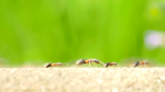 Ants Marching On Forest Path - stock footage