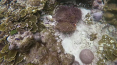 Family of Clownfish Under Water Hiding in Sea Anemone - stock footage