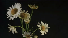 Taymlaps White Daisy Flowers Bloom on a Black Background Stock Footage