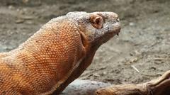 Komodo Dragon - monitor lizard Stock Footage