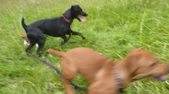 Four Happy Dogs Fetching Series Stock Footage
