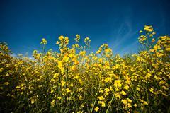 Field of rape flowers - stock photo