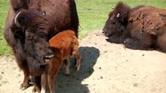 Newborn Baby Buffalo At Zoo Stock Footage