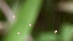 Group of newly hatched spiderlings spinning a communal web Stock Footage