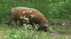Blonde and red Mangalitsa pigs wander along forest edge Stock Footage