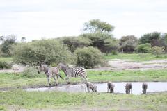 Zebra Botswana Africa savannah wild animal picture - stock photo