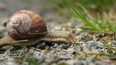Close up of a snail crawling in front of the camera Stock Footage