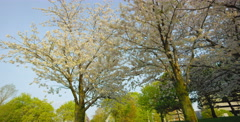 Low angle camera pan right beside two Cherry Blossom trees Stock Footage