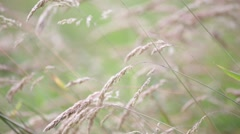 Background of cereal plant Stock Footage