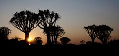 sunset over Quiver trees - stock photo