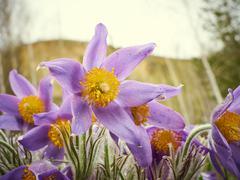 Pasque Flower, first spring flower Stock Photos