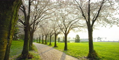 Slow pan right of multiple Cherry Blossom trees Stock Footage