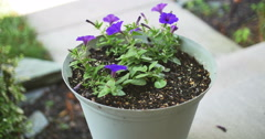 Purple Pansy in Flower Pot on Front Porch Dolly Zoom, 4K Stock Footage