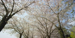 Low angle camera move through Cherry Blossom trees Stock Footage