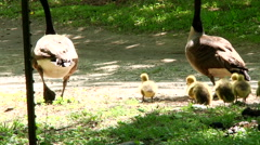Baby Geese At Spring Time Stock Footage