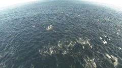 Megapod of common dolphins Stock Footage