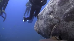 Giant grouper / Potato bass Stock Footage