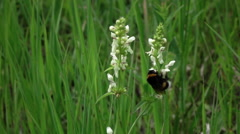 Slow motion video - bumble bee collects nectar. Stock Footage