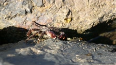 Closeup crab eating on a rock. Angry crab. - stock footage