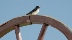 A barn swallow bird looking around FS700 Odyssey 7Q Stock Footage