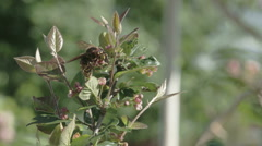 A European hornet flying on a plant FS700 Odyssey 7Q Stock Footage