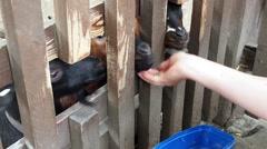 Female feeding calfs and goats trough fence, farm Stock Footage