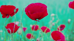 The waving flower of Papaver with a fly inside FS700 Odyssey 7Q - stock footage