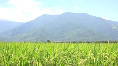 Landscape of a green field with rice stalks swaying in the wind, 4K Stock Footage