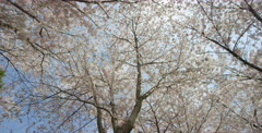 Wide of blooming Cherry Blossoms captured at a low angle - stock footage