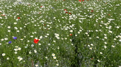 Daisies, poppies and cornflowers field Stock Footage