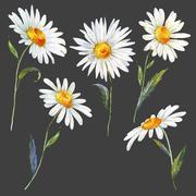Watercolor daisy set - stock illustration
