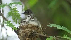 Baby birds getting fed by their mother Stock Footage