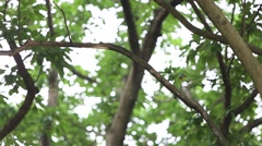 A bird Taiwan Barbet on the tree at garden of Taiwan Daan Forest Park Taipei-Dan Stock Footage