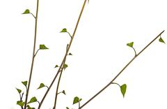 Close up  View of Young Stems and Green Leaves - stock photo