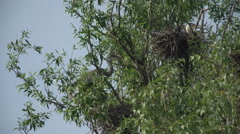 Grey Heron On Tree and nesting Stock Footage