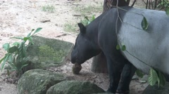 4k A adult Malayan tapir (Tapirus indicus) eating food in the zoo -Dan Stock Footage