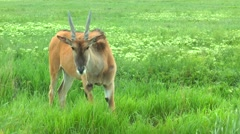 Eland standing in grass front of a camera Stock Footage