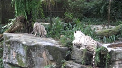 4k white tiger eating meat in the zoo-Dan Stock Footage